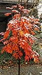 Sorbus Herbstlaub 15.jpg