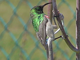 Southern Double-Collared Sunbird near Geelbek restaurant.jpg