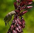 Southern Double-collared Sunbird (Cinnyris chalibeus) female or juvenile on Honey Flower (Melianthus major) (32113760954).jpg