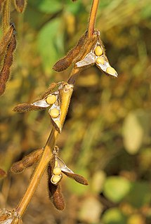 Soybean legume grown for its edible bean with many uses