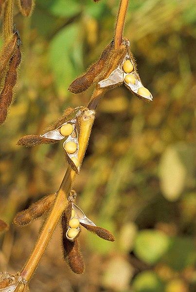 Archivo: Soybean.USDA.jpg