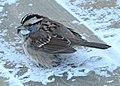 Sparrow -- Drummond Island, Michigan in Winter - 49713614013.jpg