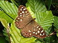 Speckled Wood (Pararge aegeria) (9235819849).jpg
