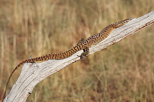 Spiny-tailed-monitor.jpg