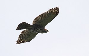 Ornate hawk-eagle - Adult in flight, Darién National Park (Panama)