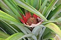 Spondias cytherea 7zz.jpg