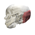 Squamous part of occipital bone08.png