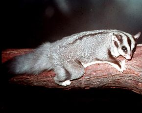 Description de l'image Squirrel-Glider-at-Lone-Pine.jpg.