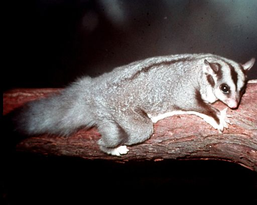 Squirrel-Glider-at-Lone-Pine