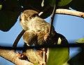Squirrel monkey nursing (4233833028).jpg