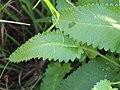 Stachys officinalis Bukwica zwyczajna 2020-07-12 08.jpg
