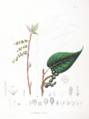 Stachyurus praecox SZ18.png
