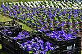 Stadelhoferplatz - Neuanpflanzung durch gsz 2012-03-2012-03-15 10-49-10.JPG