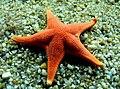 Star Fish. New Monterey, Monterey, California (14288921047).jpg