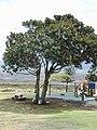 Starr-010420-0103-Ficus macrophylla-habit-Wailuku Heights-Maui (24449980161).jpg