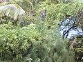 Starr-010424-0025-Coccinia grandis-habit-Maui Meadows Kihei-Maui (24532224825).jpg