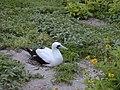 Starr-010520-0046-Tribulus cistoides-with masked booby On nest-Inland-Kure Atoll (24237185760).jpg