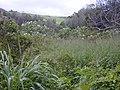 Starr-020103-0009-Montanoa hibiscifolia-habit in gulch-old Kula Rd-Maui (24437261232).jpg