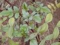 Starr-021126-0067-Rubus niveus-form b leaves-Polipoli-Maui (24185791269).jpg