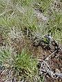 Starr-030419-0176-Anthoxanthum odoratum-habit-Polipoli-Maui (24335578390).jpg