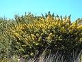 Starr-041211-1435-Ulex europaeus-habit-Puu Nianiau-Maui (24093015794).jpg