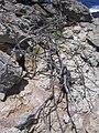 Starr-050404-0050-Osteomeles anthyllidifolia-perhaps dead plants-Mokeehia-Maui (24741496095).jpg