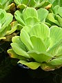 Starr-061108-9788-Pistia stratiotes-in water garden-Hoolawa Farms-Maui (24868685875).jpg