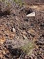 Starr-090504-7167-Festuca rubra-habit-Science City-Maui (24327190783).jpg