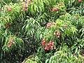 Starr-090617-0940-Litchi chinensis-fruit and leaves-Haiku-Maui (40639658384).jpg