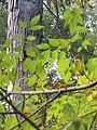 Starr-091029-8701-Fraxinus uhdei-fall foliage-Olinda-Maui (24869191022).jpg