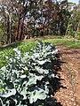 Starr-091108-9384-Brassica oleracea var botrytis-broccoli in vegetable garden-Olinda-Maui (24693728970).jpg