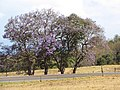 Starr-100601-6544-Jacaranda mimosifolia-flowering habit-Kula-Maui (24921129232).jpg