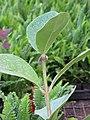Starr-110215-1118-Clusia rosea-leaves-KiHana Nursery Kihei-Maui (24780041210).jpg