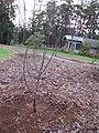 Starr-110217-1527-Pyrus communis-Hood just planted-Olinda-Maui (24958312382).jpg