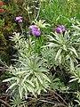 Starr-110307-2067-Erysimum linifolium-flowering habit-Kula Botanical Garden-Maui (24959379812).jpg