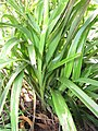Starr-110411-4949-Dianella sandwicensis-leaves form sandwicensis-Hawea Pl Olinda-Maui (24455653853).jpg