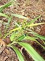 Starr-110411-5022-Dianella sandwicensis-flowers and fruit form lavarum-Hawea Pl Olinda-Maui (25056272956).jpg