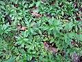Starr-120425-5104-Erigeron karvinskianus-on forest floor-Waikapu Valley-Maui (25046931531).jpg
