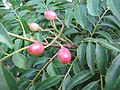 Starr-121108-0708-Murraya koenigii-fruit and leaves-Pali o Waipio-Maui (25169613986).jpg