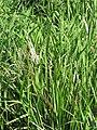 Starr-130322-3777-Zizania latifolia-habit-Hanalei NWR-Kauai (25183368586).jpg