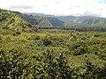 Starr-140909-1817-Hibiscus tiliaceus-habit view mauka into Koolau Gap-Wailua-Maui (25127702502).jpg