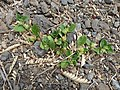 Starr-160324-0631-Alternanthera pungens-seeding habit-Kihei-Maui (26887367531).jpg