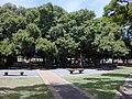 Starr 010914-0084 Ficus benghalensis.jpg