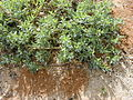 Starr 020116-0052 Heliotropium curassavicum.jpg