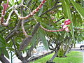 Starr 030612-0080 Plumeria rubra.jpg