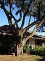 Starr 061223-2706 Jacaranda mimosifolia.jpg
