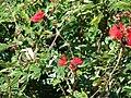 Starr 070111-3347 Calliandra haematocephala.jpg