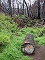Starr 070908-9184 Pinus sp..jpg