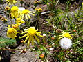 Starr 080301-3146 Senecio madagascariensis.jpg
