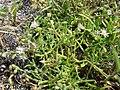 Starr 080601-5236 Spergularia marina.jpg